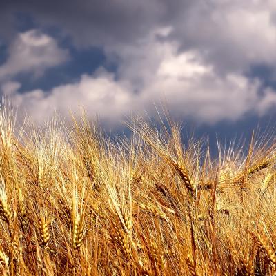 Žetva pšenice rod 2020
