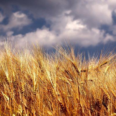 Žetva pšenice – rod 2018